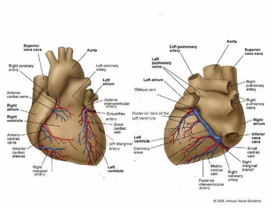 Coronary Arteries And Veins Keelins Anatomy Website